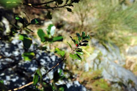 ilex aquifolium holly: Ilex aquifolium, Holly Branch, Hurdes, Caceres Province, Extremadura, Spain