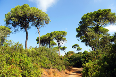 mediterranean forest: Mediterranean forest, footpath in pine forest, Las Canteras, Puerto Real, Cádiz, Andalusia, Spain Stock Photo