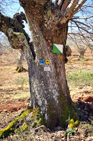 chestnut tree: Chestnut tree trunk with indications of trails