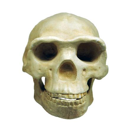 erectus: Homo erectus, skull, reproduction