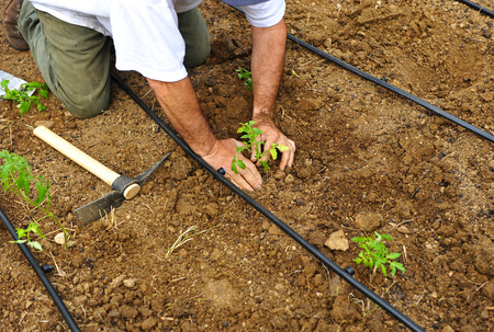 Farmer sowing vegetables in the orchard