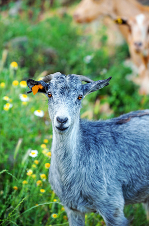 drover: Goat in the field staring