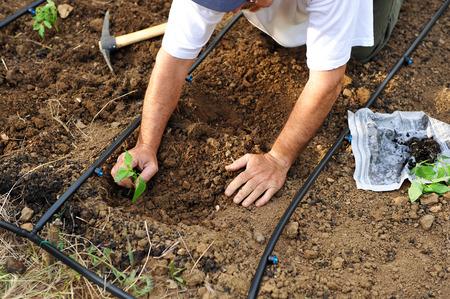 siembra: Agricultor siembra verduras en el huerto