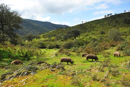 Porcs ibériques dans la prairie, Sierra de Huelva, Espagne Banque d'images - 44473801