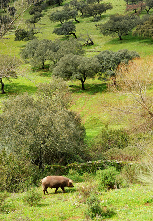 Iberian pig in the Sierra de Huelva, Andalusia, Spain Stock Photo