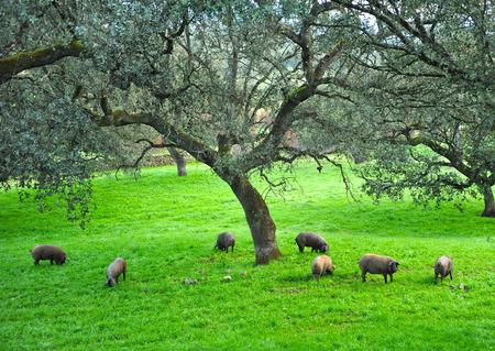 Automne, porcs ibériques dans la prairie, Espagne Banque d'images - 44625312
