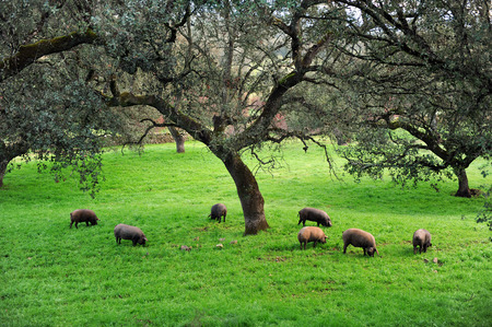 extremadura: Iberian pigs in the meadow, Sierra de Huelva, Andalusia, Spain