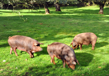 Three Iberian pigs in the pasture, Spain Standard-Bild