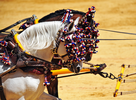 horse andalusian horses: Couple of andalusian horses harnessed, exhibition of horse carriages, Seville, Andalusia, Spain Stock Photo