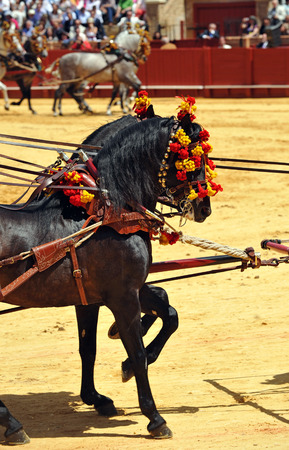 horse andalusian horses: Two andalusian black horses harnessed, exhibition of horse carriages, Seville, Andalusia, Spain