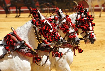 Drei weiße Pferde angeschirrt, Ausstellung von Pferdewagen, Sevilla, Andalusien, Spanien Standard-Bild - 47902861