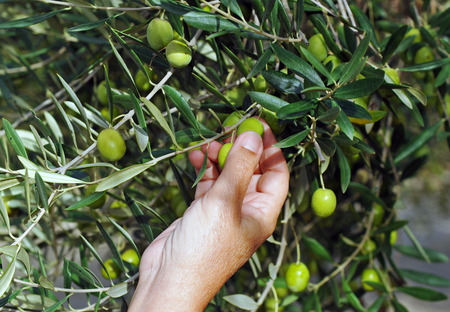 field crop: Selective collection of olives in the olive grove, Andalusia, Spain, southern Europe