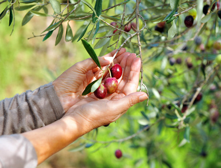 southern europe: Selective collection of olives in the olive grove, Andalusia, Spain, southern Europe