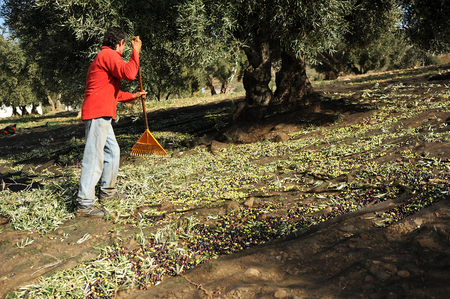 olive groves: Farmer picking olives with rake, traditional technique named vareo, olive groves of Andalusia, Spain, Southern Europe Stock Photo