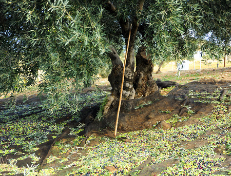 Olives harvest through a network of nylon, traditional technique named vareo, olive groves of Andalusia, Spain, Southern Europe