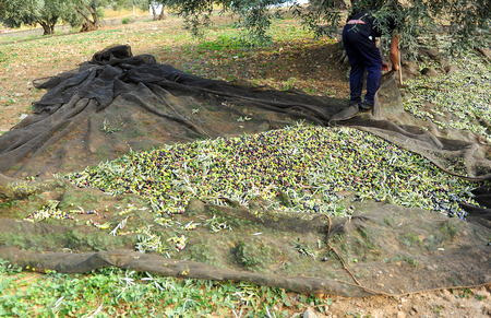 named person: Traditional olive harvest, Andalusia, Spain