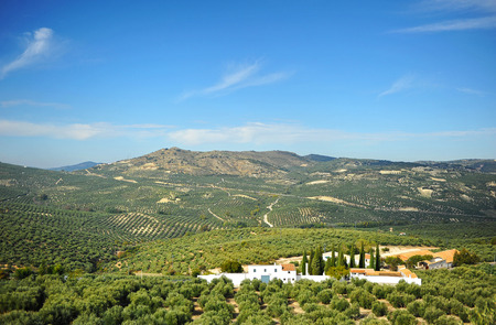 olive groves: Olive oil, Olive groves of Andalusia, Spain Stock Photo