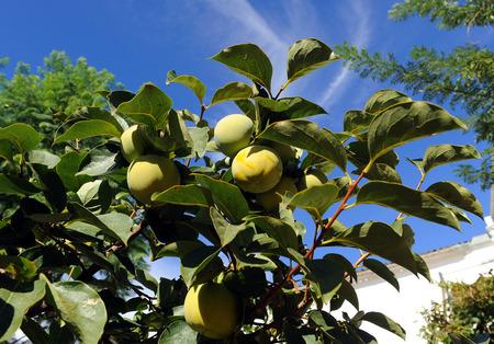 quinces: Quince tree Stock Photo