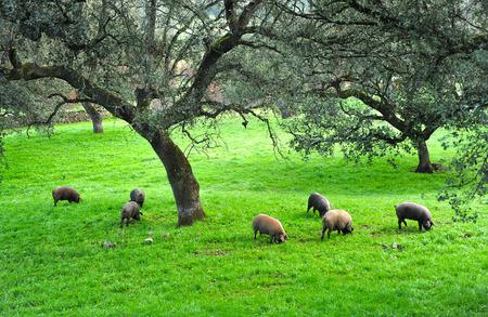 Porcs ibériques sur les pâturages en automne, en Espagne