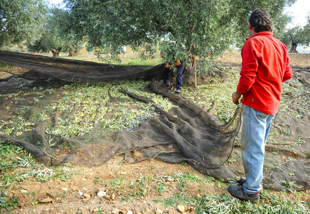 olive groves: Olive harvest, traditional technique called vareo, olive groves of Andalusia, Spain, Southern Europe