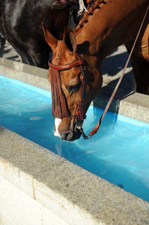 caballo bebe: Horse drinking water at the trough Foto de archivo