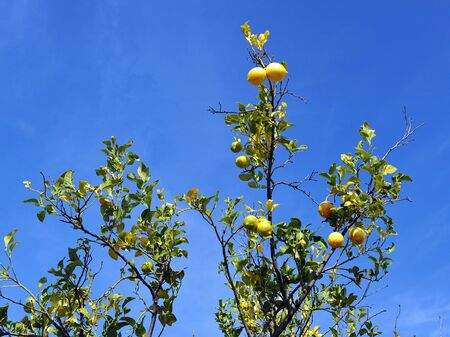 Branches with fruits of a sick lemon tree