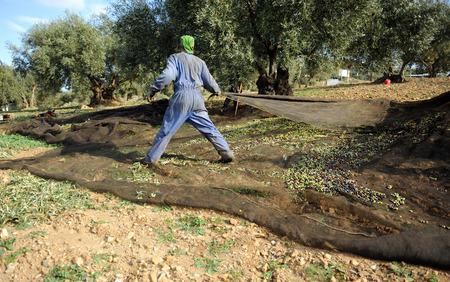 Workman haciendo la cosecha de aceitunas de forma tradicional en Jaén, Andalucía, España Foto de archivo - 75274494
