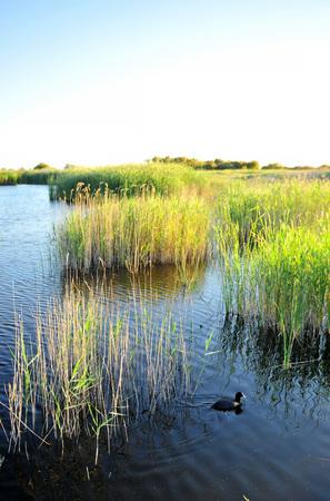 Duck at Tablas de Daimiel National Park, Castilla la Mancha, Spain Stock Photo