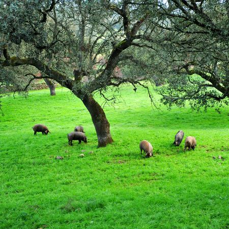 sierra: Iberian pigs eating acorns in the meadow, Spain Stock Photo