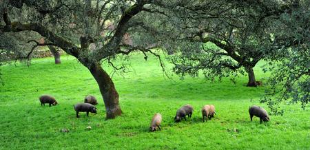 Iberian pigs eating acorns in the meadow, Spain Stock Photo