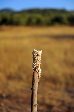 Snails on a dry branch of field, Cadiz province, Spain. These snails are collected in the fields after the late spring rain and are cooked.
