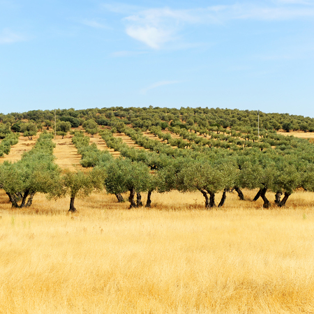 Olive groves and cereals in Castilla la Mancha, Spain