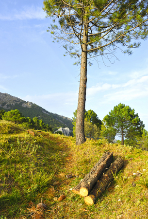 Pine wood cut in Sierra de Grazalema Natural Park, province of Cadiz, Andalusia, Spain Banque d'images - 106854801