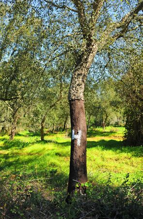 Cork oak trunks marked with white numbers according to the year of the cork harvest. Springtime in Alentejo near the city of Evora, Portugal.