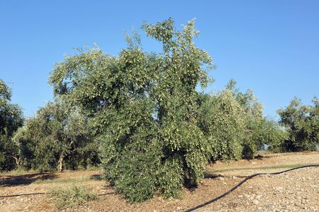 Extensive cultivation of olive trees under drip irrigation for the production of olive oil near Arahal, Seville province, Andalusia, Spain 스톡 콘텐츠