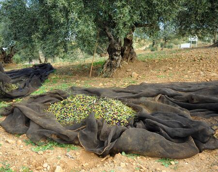 Olives harvest in the traditional way named vareo, Andalusia, Spain
