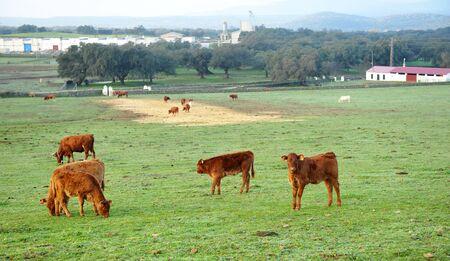 Breeding calves in a pasture farm near the village of Real de la Jara, province of Seville, Spain Reklamní fotografie