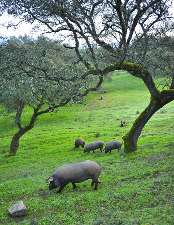 Iberian pigs feeding on acorns near the village of Cumbres Mayores, Huelva province, Andalusia, Spain