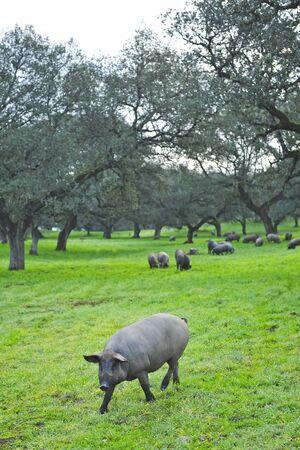 Iberian pigs feeding on acorns near the village of Cumbres Mayores, Huelva province, Andalusia, Spain