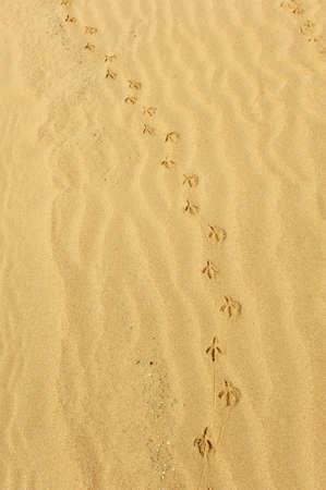 seabird paw prints in the sand of beach, Cadiz, Spain