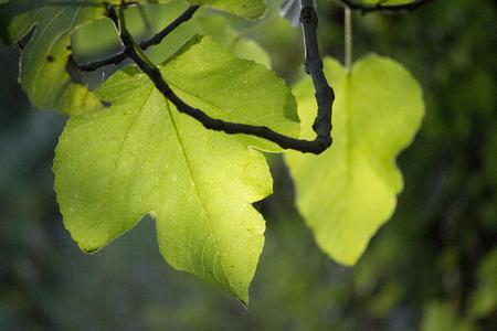 Transparent green leaf. Light backlit tree leaf