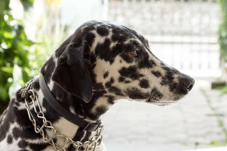 dalmatian: Dalmatian dog with a tender look