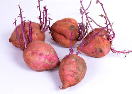 jhy: Sweet Potato sprouting again after being extracted from the ground