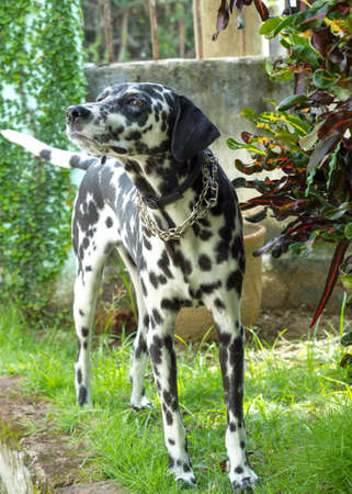 black bitch: Dalmatian dog with a tender look