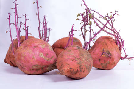 extracted: Sweet Potato sprouting again after being extracted from the ground