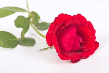 gingery: The gingery rose remains white fund