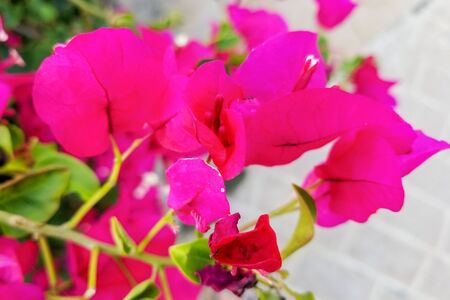 violet bougainvillea with withe and green background 写真素材