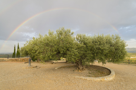 drizzling rain: Olive trees.