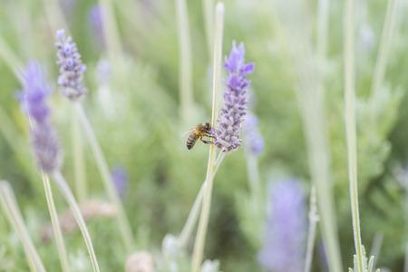 wasp: Avispa.