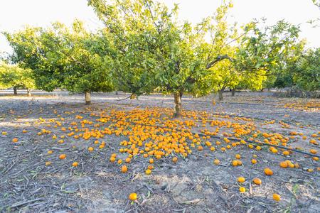 valencia orange: Orange groves. Stock Photo